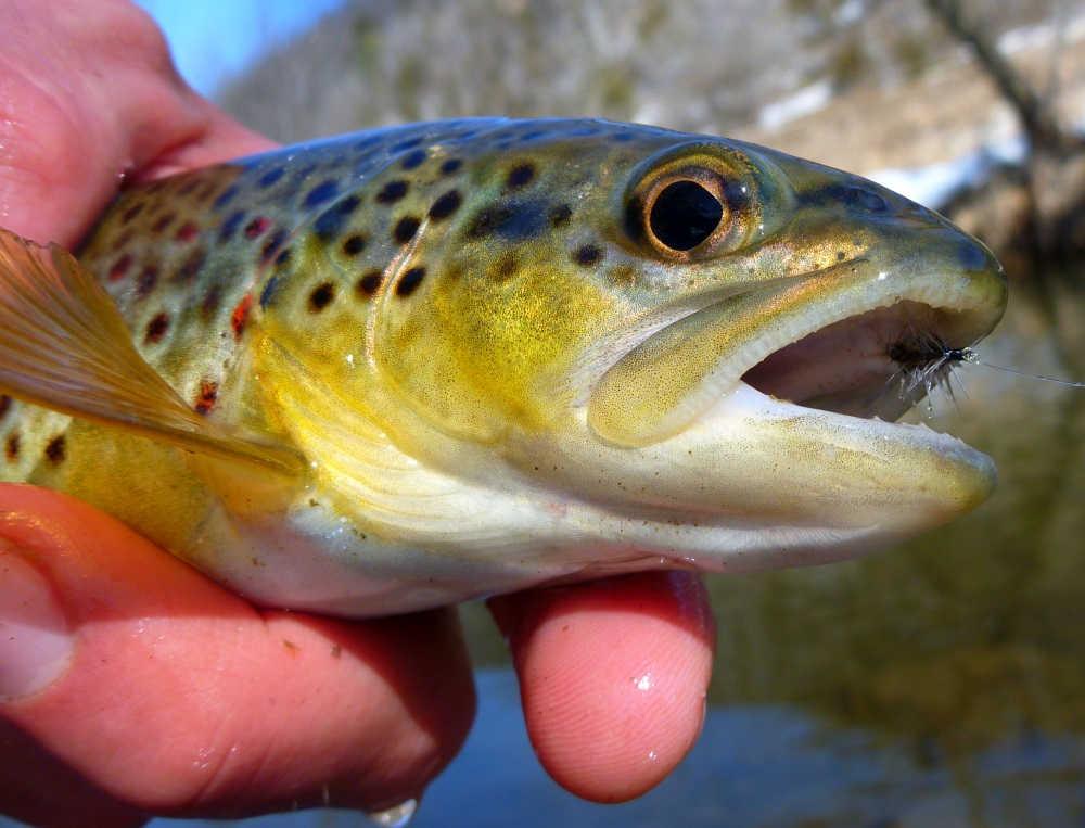 Another Brown Trout