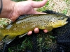 Driftless Area Brown Trout