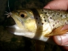 Brown Trout on a Grey Caddis