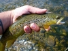 Brown on a #16 Caddisfly