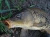 Carp on a Crayfish