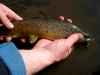 Brown Trout (Note: Fin Damage)