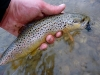 Brown Trout on a #8 Black SMB