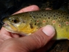 Note: the last trout my fly hooked, check the hook out in it's mouth.