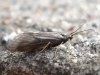 Grey Caddis Fly