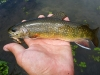 Brookie on a #10 Brown/Tan Hopper