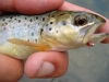 Clover First Trout