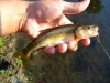 Creek Chub