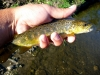 Brown on a Trico Spinner