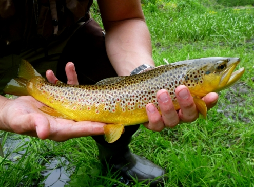 The Brown Trout Measured 15inches