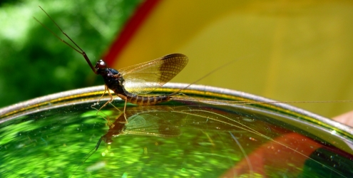 Leptophlephia nebulosa (Male Spinner)
