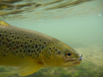 Brown Trout on a P&P