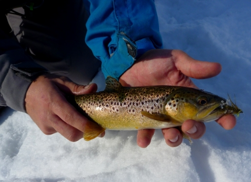 Brown Trout in the Winter Sun