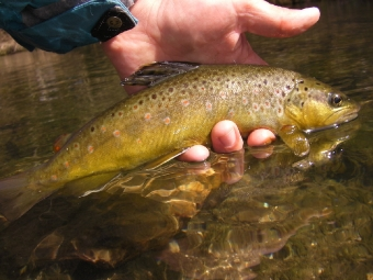 Brown Trout on a #20 Jujubee Midge