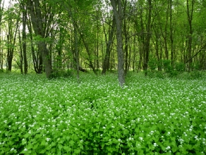 A Field of Garlic Mustard