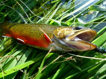 Brookie on a #8 Black SMB