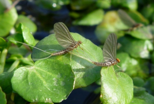 Male and Female Baetis Duns