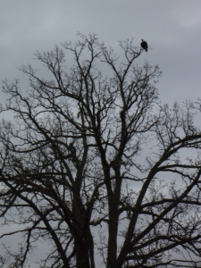 An Eagle In The Tree