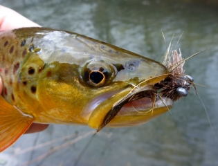 Brown Trout on the Jungle Boogie