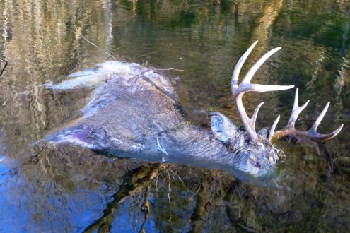 Dead Deer in the Creek