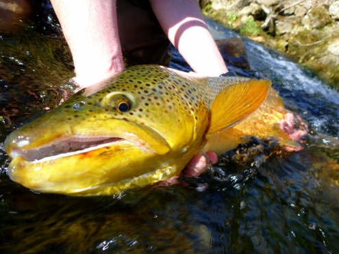 The Driftless Trout of a Lifetime