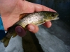 1st Brown on a Dry Fly