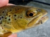 Brown on a #20 Midge Dryfly