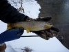 Thick Brown Trout