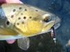 Brown Trout on a Marabou Leech