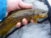 A Dark Brown Trout