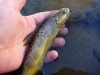 A Smaller Brown Trout