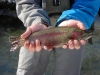 Winter Rainbow Trout