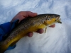 Brightly Colored Winter Brown Trout