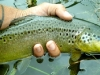 Girthy Brown Trout