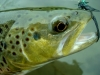 Brown Trout with an SMB