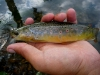 1st Trout on a Free Range Soft-Hackle