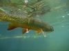 Driftless Area Brook Trout