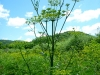 Wild Parsnip Growing Tall