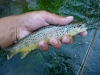 Smaller Brown Trout