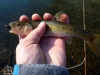 Rosy Cheeked Creek Chub