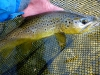 Brown Trout on a #8 Hairball