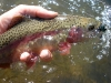 Rainbow Trout on an SMB