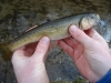 Rosey Cheeked Creek Chub for Sershen