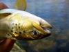 Brown on a Dry Fly