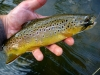 Brown on a Streamer