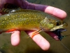 The Brook Trout