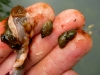 Stomach Contents: Snails, nothing but snails...