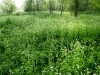 Garlic Mustard Taking over a Field: Note the bit of diversity left