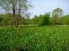 The New Field with a Wall of Garlic Mustard in the Distance