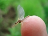 The Light Hendrickson Mayfly (Sub-Imago)